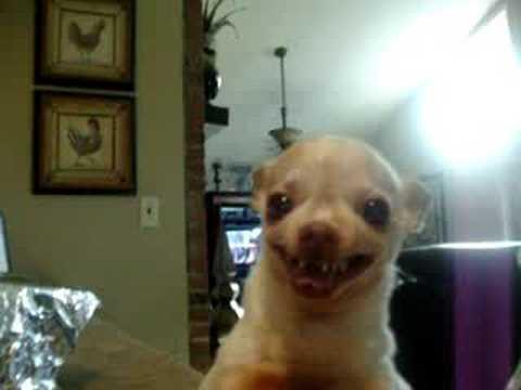 Evil Chihuahua Growling