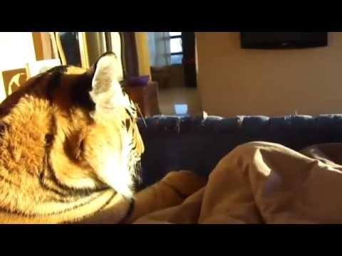 Guy sleeps with his pet tiger