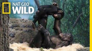 Young Bonobos Play Airplane at Cincinnati Zoo | Nat Geo Wild by Nat Geo WILD