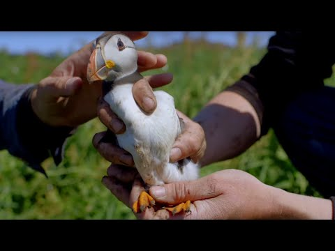 First time Cute Baby Puffin Sees World