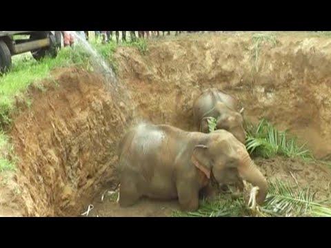 العرب اليوم - شاهد: إنقاذ 4 أفيال صغيرة سقطت في حفرة