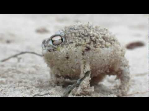 An Angry Desert Rain Frog Expresses His Displeasure With an An Adorable Squeaking
