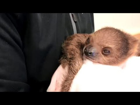 Baby Sloth Named After 'Gone With The Wind' Star Vivien Leigh