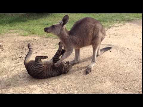 un gatto e un canguro nemiciamici