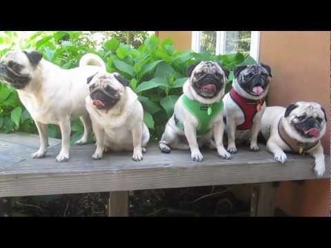 Pack of Panting Pugs
