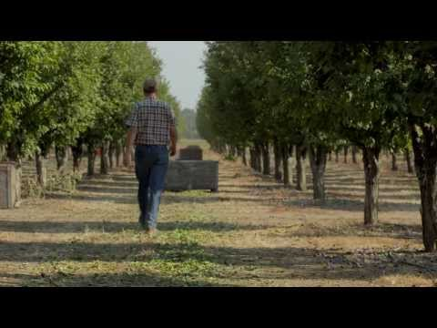 Growing California Dried Plums (Prunes) | B-Roll