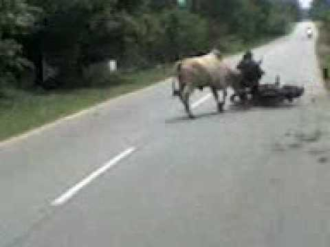 Two cows were fighting beside the road and crash the unsuspecting Bike Rider
