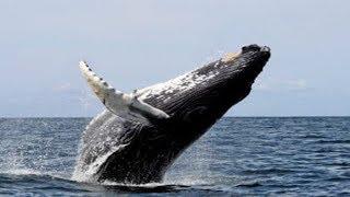 Download Video 9 Fakta Ikan Paus !! Muntahannya Bisa Laku 3,3 Miliar Bikin Kaya Mendadak MP3 3GP MP4