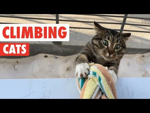 gatti-equilibristi-e-arrampicatori