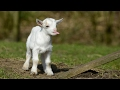 Most Funny and Cute Baby Goat Videos Compilation (2017)