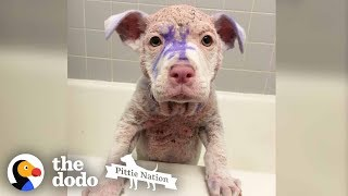 Purple Pittie Puppy Makes an INCREDIBLE Transformation | The Dodo Pittie Nation by The Dodo
