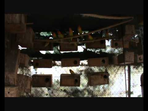 Cría de aves exóticas en cautividad.wmv