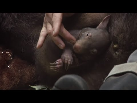 Duisburg: Einziges Wombat-Baby Europas im Zoo Duisb ...