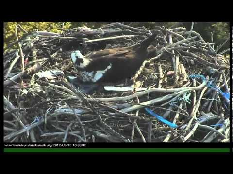 Time Lapse of Osprey Egg Hatching