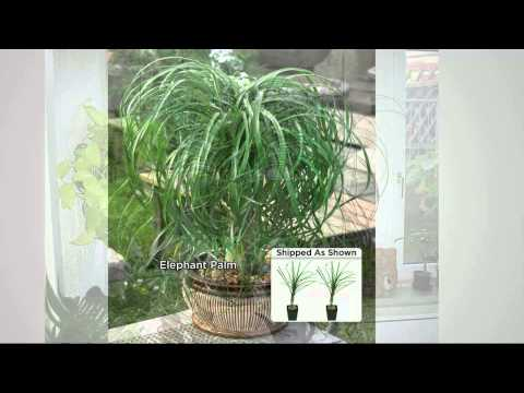 Roberta's 2-pc. Elephant Foot Bonsai Palm Trees with Kerstin Lindquist