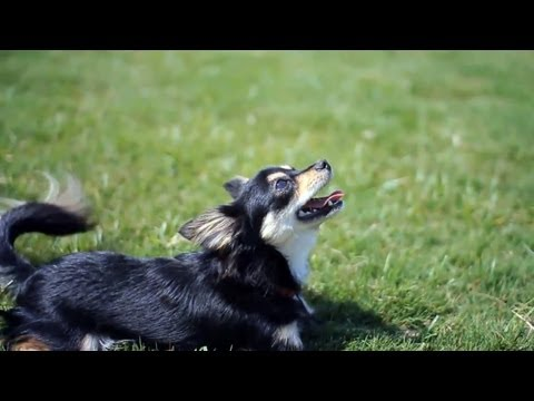Long-Haired Chihuahua With Tons of Spark | The Daily Puppy