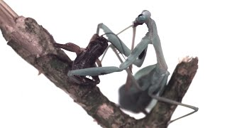 Praying Mantis Attack In Slow Motion - BBC Earth