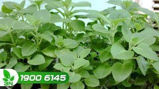 Trồng trọt | Kinh nghiệm chăm sóc cây rau quế vị mùa khô