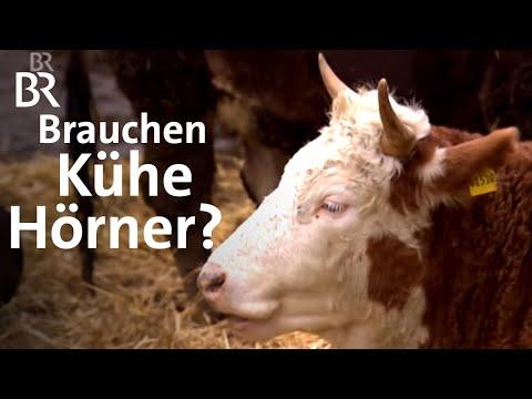 Kühe mit Hörnern: Im Laufstall und mit Melkroboter | Unser Land | BR Fernsehen