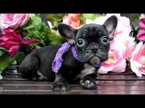 Monique AKC Black Female French Bulldog Puppy, atat, Dd