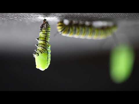 A Beautiful Timelapse of a Monarch Caterpillar Forming a Chrysalis Around