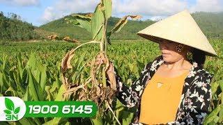 Trồng trọt | Trồng nghệ mùa mưa: Thận trọng với bệnh thối gốc thối rễ