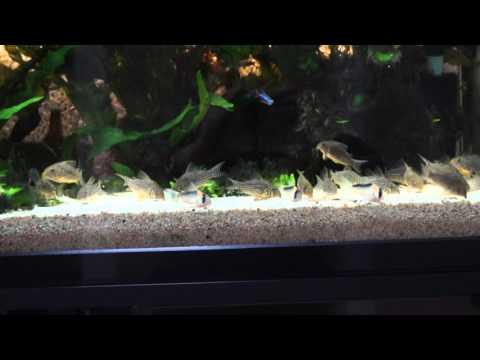 アドルフォイ購入から2年が経ちました Corydoras adolfoi 熱帯魚