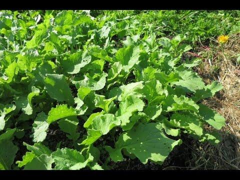 Редька дайкон выращивание в открытом грунте 130