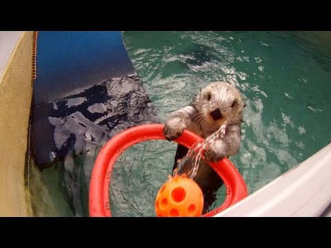 Oregon Zoo otter shoots hoops!