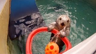This 16-Year Old Sea Otter Can Play Basketball Better Than You