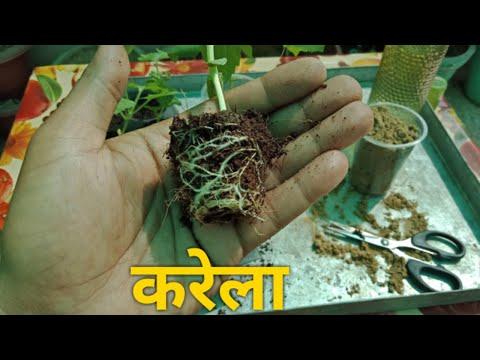 How to grow Bitter gourd from Seeds | करेला  के पौधे को बीज से कैसे उगाये।