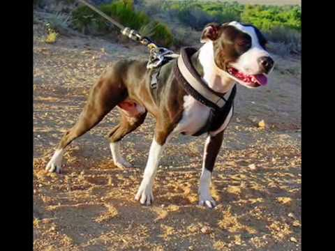 Pitbullpuppies Youtube on