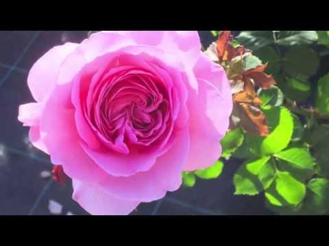 Assisi Rose Garden / Giardino delle Rose