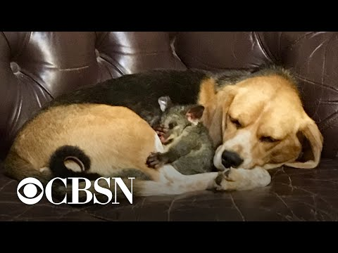 Beagle adopts orphaned possum after losing litter of puppies