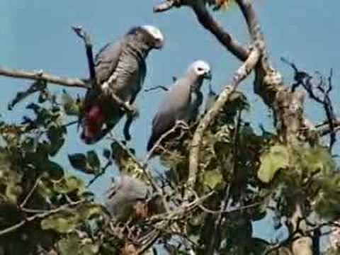 African Grey Parrots waking up in Cameroon