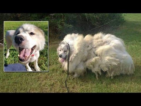 trovato il cane pecora. ma come si fa?