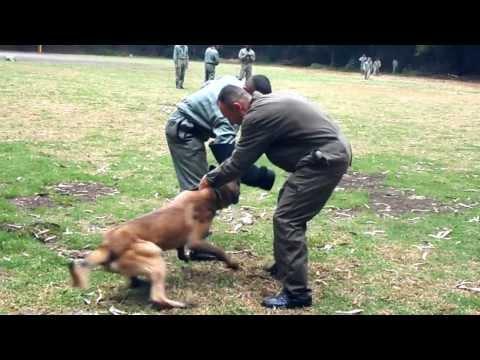 entrenamiento perros anti explosivos