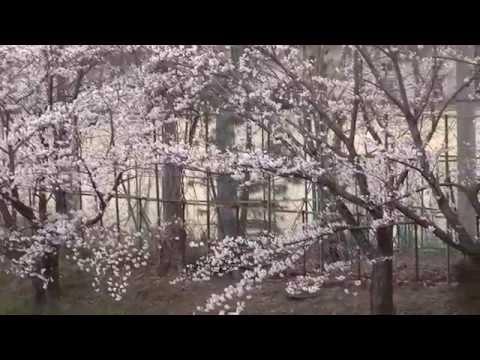 堺市 庭代台中学校の桜