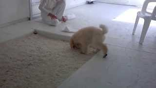Poodle Puppy Gets A Lesson In Potty Training