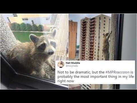 How a raccoon scaling a skyscraper got Netizens praying for its life