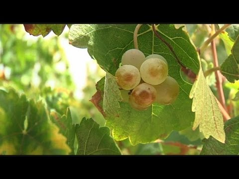 Technology made in Seville to get the best wine with a 3D analysis of grape seeds