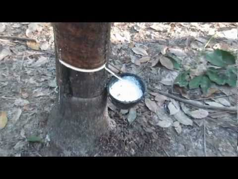 Rubber Tapping (Cutting) In Bueng Kan Province, Thailand