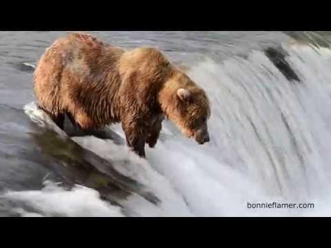 棕熊想抓鮭魚吃 技術失準慘遭魚打臉 完美KO