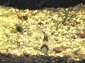 Aquário de água doce plantado com Corydoras : )