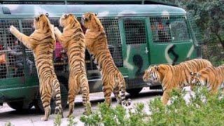 Download Video Angry Royal Bengal Tiger Comes to Forward of Safari Bus   A Full Day tour Bangabandhu Safari Park MP3 3GP MP4