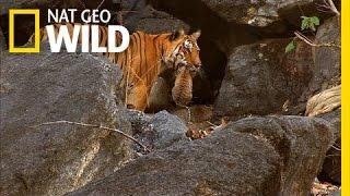 Video Tiger Cub Escape   Secret Life of Tigers MP3, 3GP, MP4, WEBM, AVI, FLV Agustus 2019