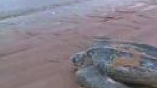 Here is a little video on leatherback turtles, I made in French Guiana (Yalimapo, June 2006). Enjoy, comment and protect the sea !