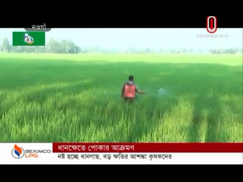 Paddy field attacked by pests (21-10-2019) Courtesy: Independent TV