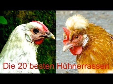 Die 20 besten Hühnerrassen für Selbstversorger - von  ...