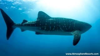 Swim with the Whale Sharks of Oslob